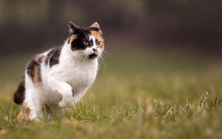 Бесплатные фото трехцветная,кошка,морда,лапы,хвост,готовность,прыжок