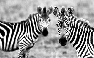 Заставки зебра, зверь, африка