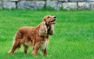 Фото бесплатно чаппи, пес, щенок