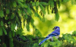 Бесплатные фото дерево,ель,лапы,птичка,голубая,перья,клюв
