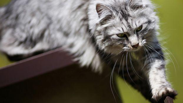 Заставки кот, большой, пушистый