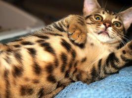 Бесплатные фото кот,лежит,живот,полосатый,пятнистый,порода,уши