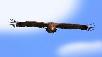 Бесплатные фото орел,крылья,перья,клюв,небо,голубое,глаза