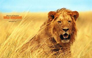 Бесплатные фото лев,зверь,дикий,уши,шерсть,клыки,трава