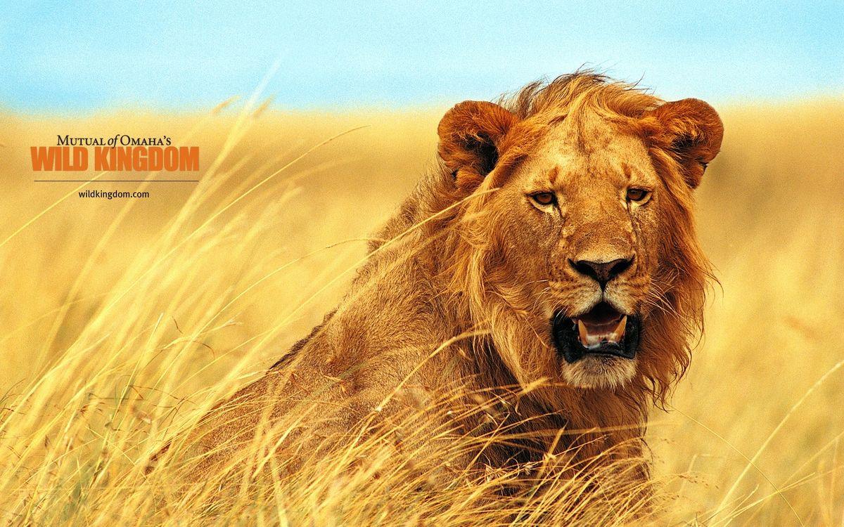 Фото бесплатно лев, зверь, дикий - на рабочий стол