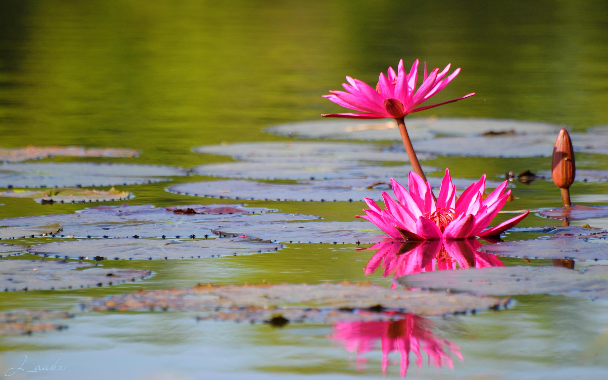 лилия, озеро, листья без смс