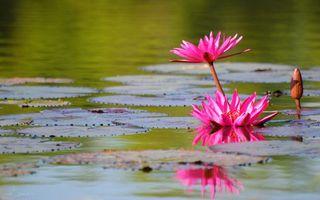 Бесплатные фото лотосы,лепестки,розовые,листья,большие,водоем,цветы