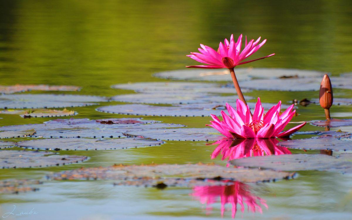 Фото бесплатно лотосы, лепестки, розовые, листья, большие, водоем, цветы, цветы