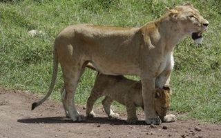 Бесплатные фото львица,львенок,морда,лапы,хвост,шкура,кошки