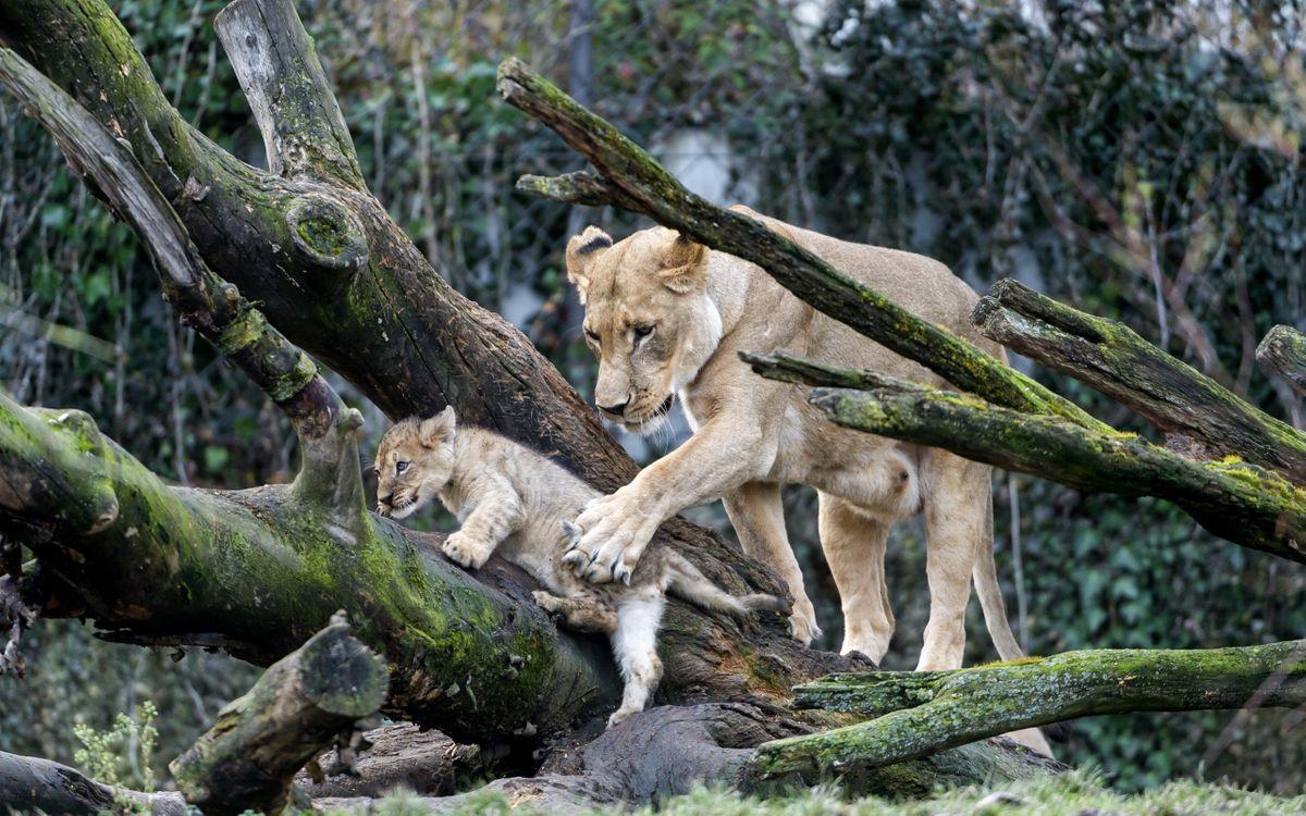 Фото бесплатно львица, мама, львенок, коряги, помощь, защита, кошки, кошки
