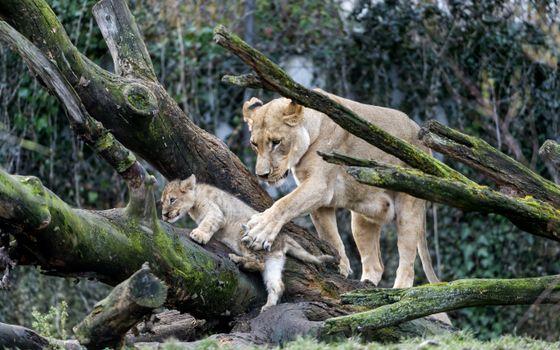 Фото бесплатно львица, мама, львенок