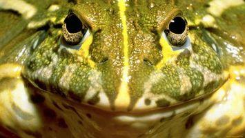 Фото бесплатно лягушка, зеленая глаза, рот