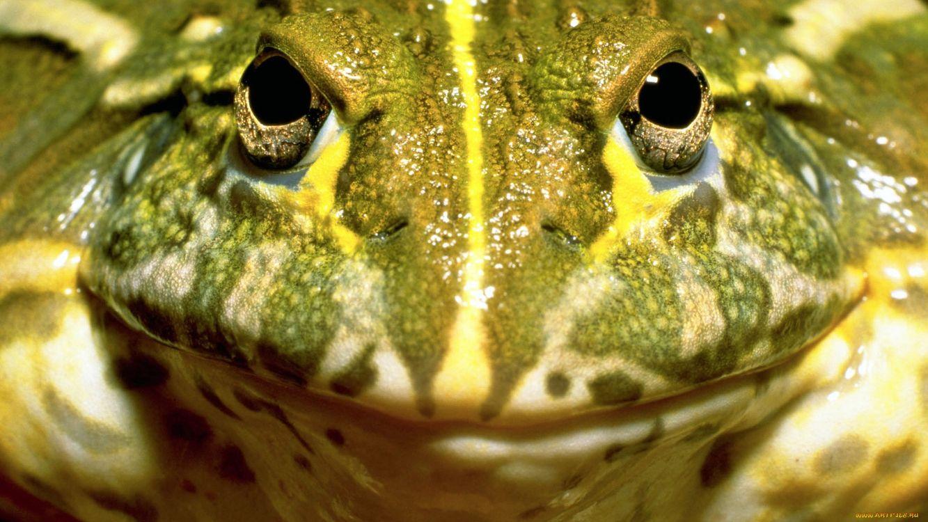 Фото бесплатно лягушка, зеленая глаза, рот - на рабочий стол