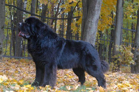 Фото бесплатно ньюфаундленд, пес, водолаз