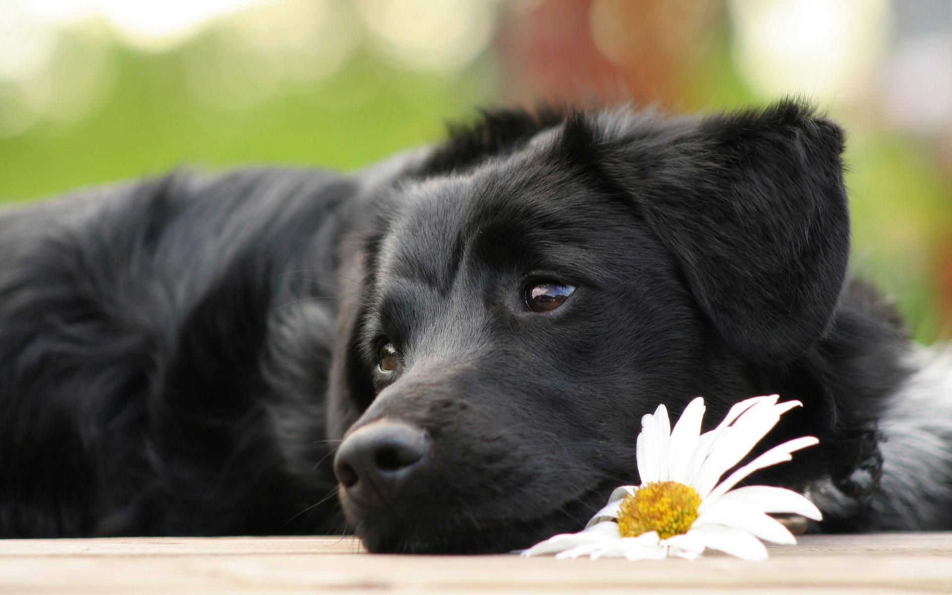 пес, окрас, черный