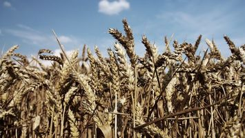 Заставки поле, пшеница, небо, голубое, солнце, свет, природа