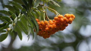 Фото бесплатно еда, ветка, ягоды
