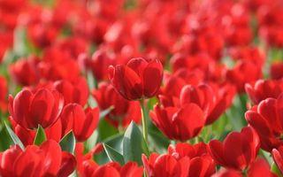 Бесплатные фото тюльпаны,букет,поляна,поле,луг,лето,алые