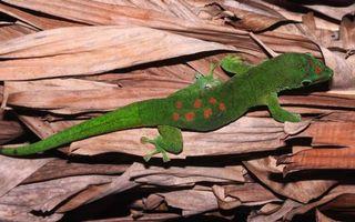 Обои ящерица, кожа, зеленая, голова, хвост, ноги, глаза, пятнышки, окрас, трава, сено, животные