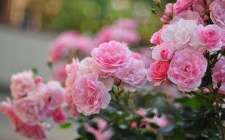 Заставки размытость,цветы,лепестки,макро,розовые,розы,кусты