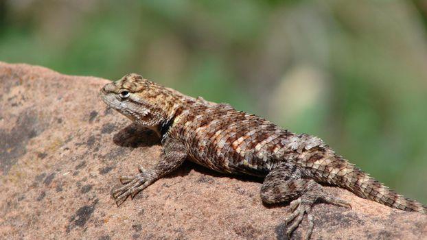 Photo free lizard, africa, on a boulder