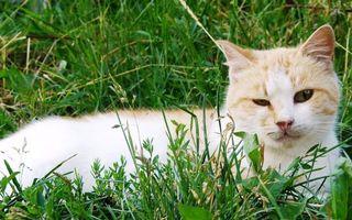 Заставки волосы, кошка, трава