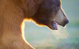 Бесплатные фото медведь,морда,глаза,пасть,клыки,дыхание,животные