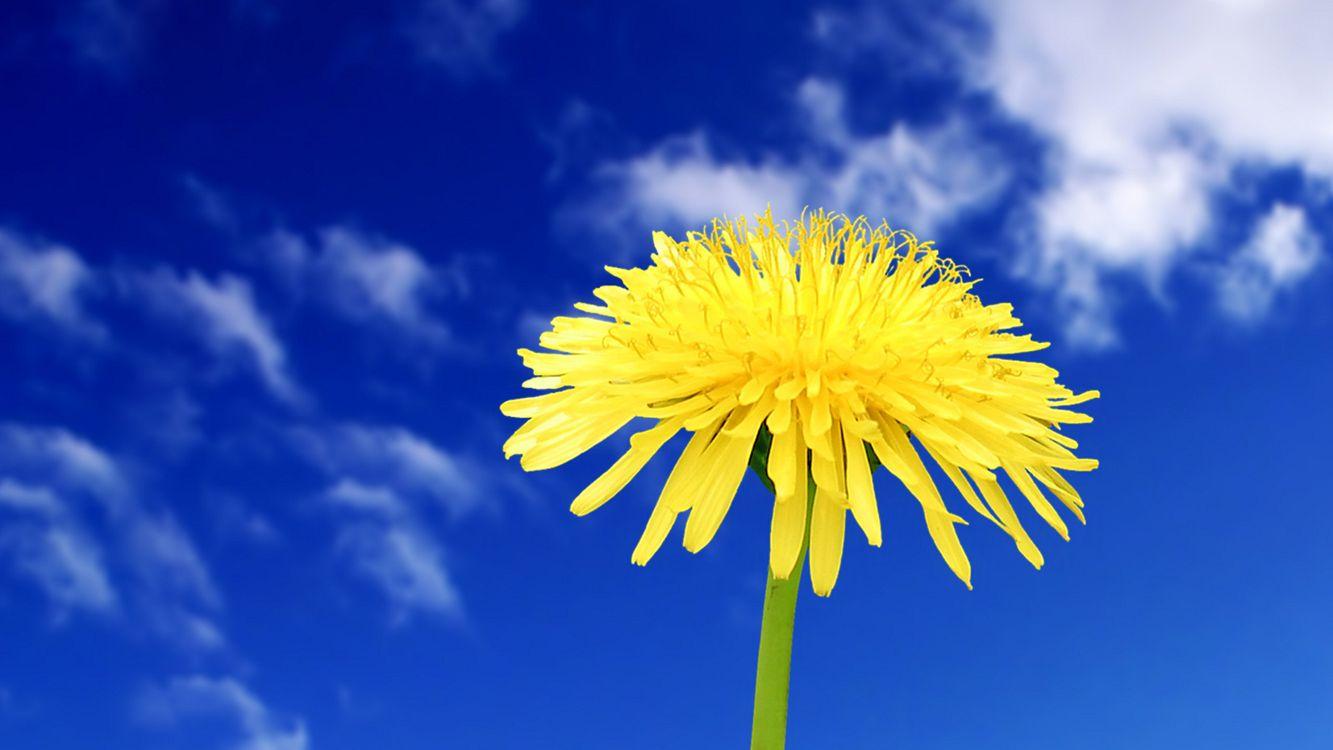 Фото бесплатно одуванчик, стебель, лепестки, желтый, весна, небо, облака, цветы, цветы