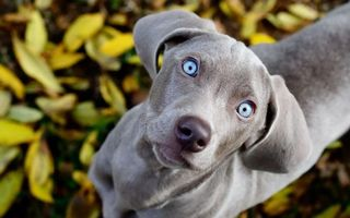Бесплатные фото пес, щенок, голубые, глаза, взгляд, удивление, ситуации