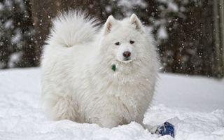 Бесплатные фото пес,щенок,пушистый,белый,шерсть,порода,зима