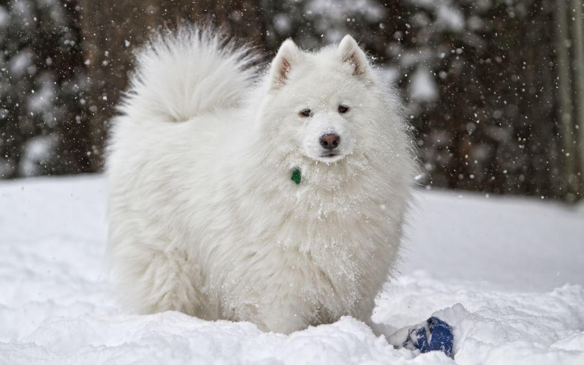Фото бесплатно пес, щенок, пушистый, белый, шерсть, порода, зима, снег, мороз, собаки, собаки
