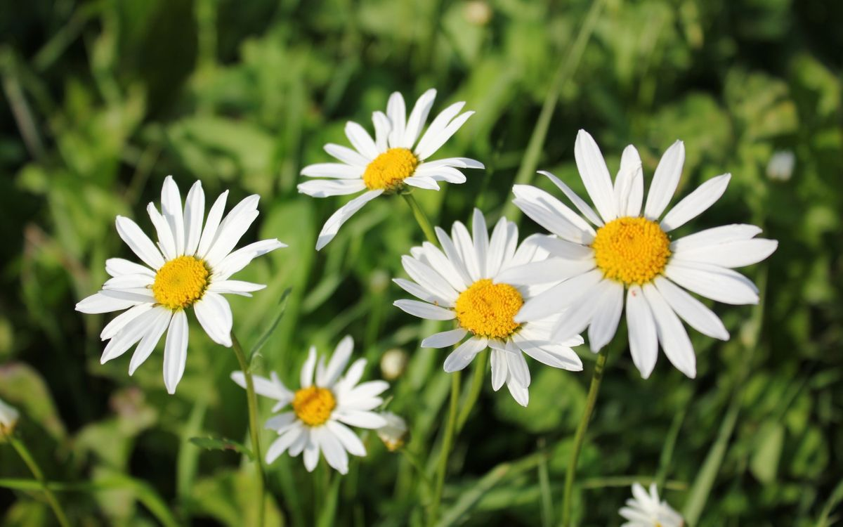 Фото бесплатно ромашки, цветки, поляна, луг, лепестки, листья, стебли, цветы, цветы