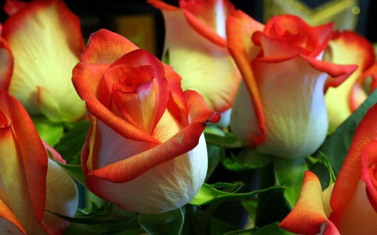 Фото бесплатно розы, бутоны, лепестки, красно-белые, листья, букет, цветы, цветы