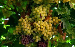 Обои виноград, ягоды, плоды, спелые, сочные, зеленый, красный, сорт, изюм, дерево, еда, природа