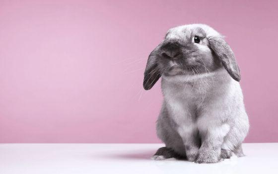 Photo free hare, fluffy, gray