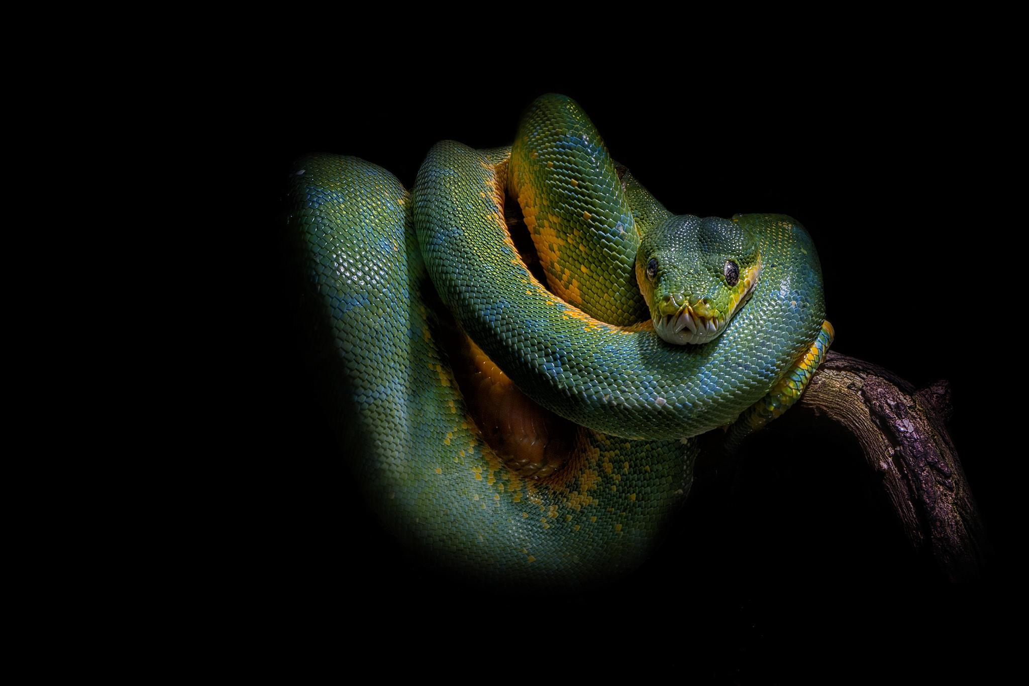 Обои змея, питон, чёрный фон