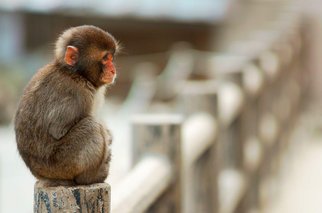 Фото бесплатно обезьяна, сидит, макака - на рабочий стол