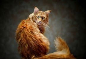 Бесплатные фото кот,взгляд,котэ,глаза,хвост,рыжий