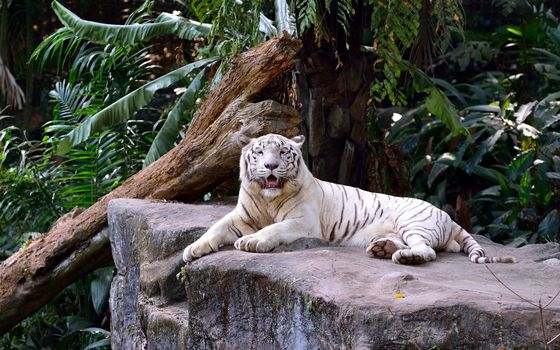 Photo free white tiger, log, large stone