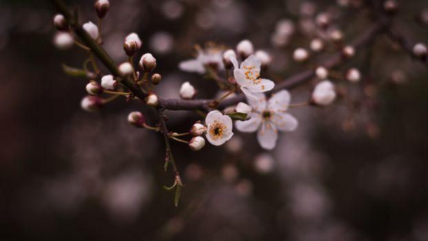 Photo free bird cherry, branch, tree
