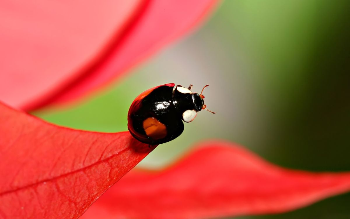 Photos for free beetle, ladybug, wings - to the desktop
