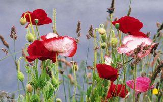 Бесплатные фото мак,цветы,трава,бутоны,семена,лепестки,природа