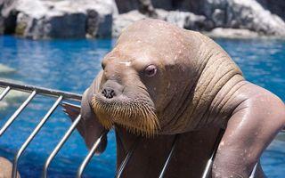 Бесплатные фото морской котик,усы,кожа,лапы,глаза,тело,бассейн