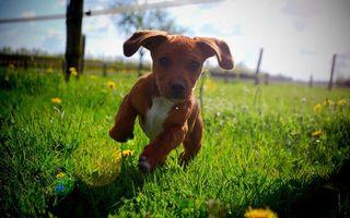Заставки щенок, играет, трава