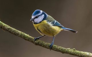 Фото бесплатно синичка на ветке, синица, веточка