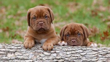 Фото бесплатно собаки, животные, бревно