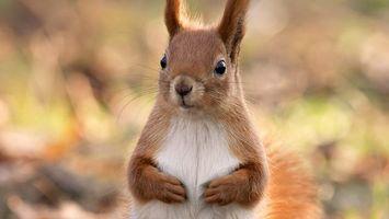 Фото бесплатно белка, лапки, уши