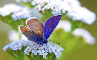 Бесплатные фото бабочка,крылья,лапки,глаза,цветы,белые,насекомые