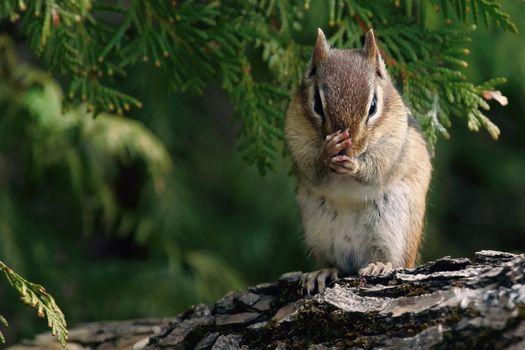 Фото бесплатно белка, орех, лес