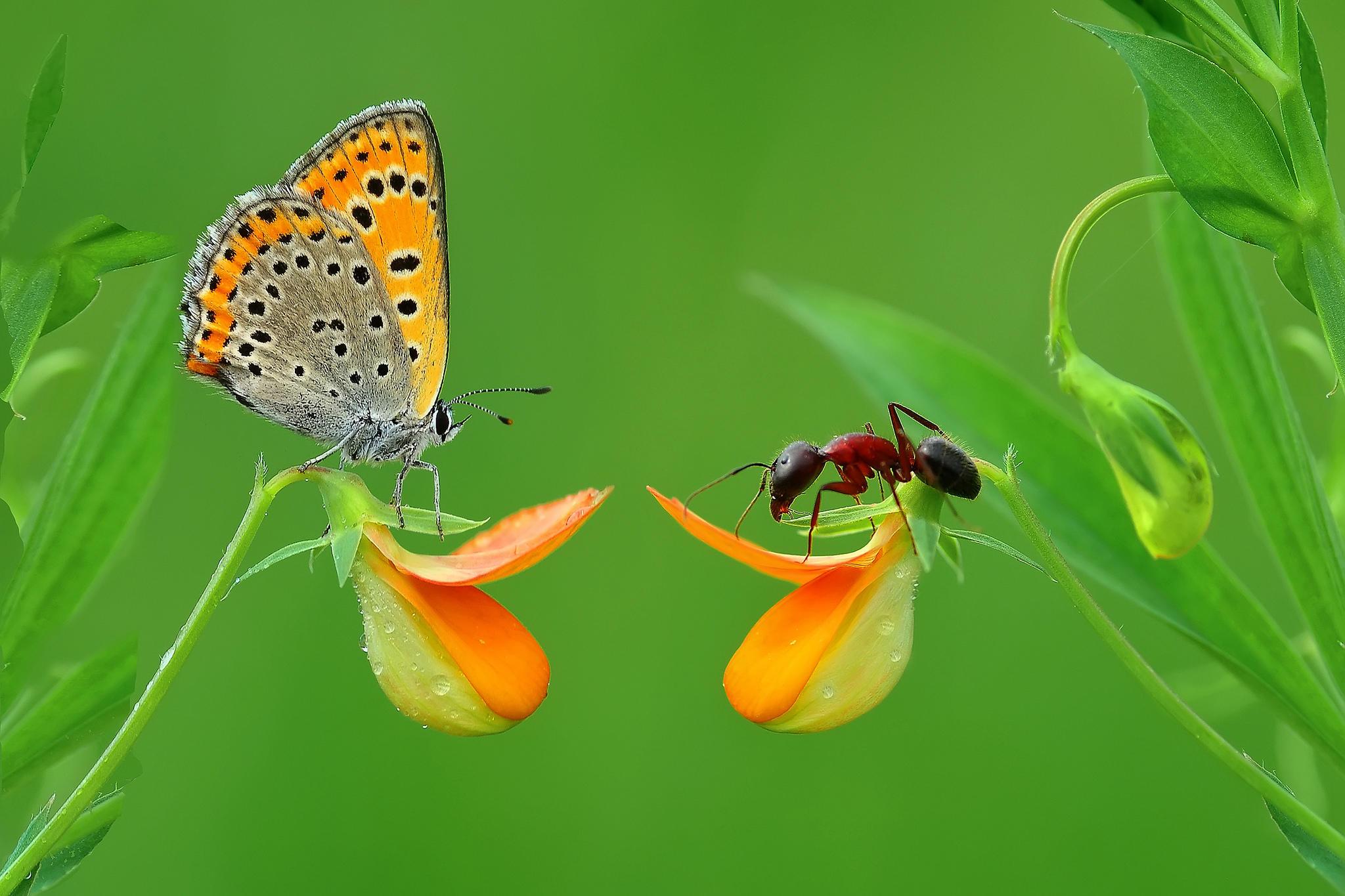 Обои цветок, бабочка, муравей, макро
